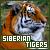 Siberian Tigers: