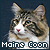 Maine Coons: