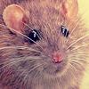 rat-tu-s